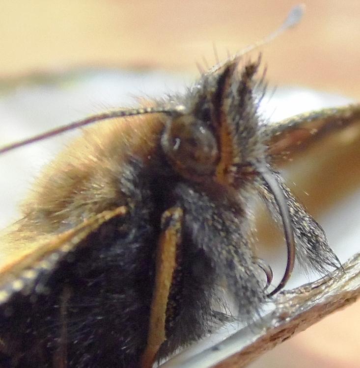 Бабочка Крапивница. Фото 05.07.2013 г. Урдома.