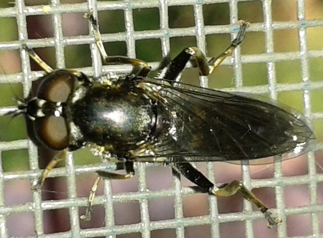 Неизвестная муха. Фото 05.07.2013 г. Урдома.