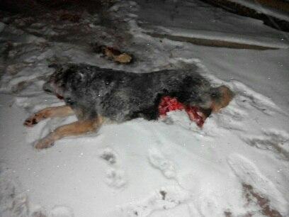 05.11.2016, Урдома, у дома Тропникова рядом с базой Ильина волки загрызли собаку.