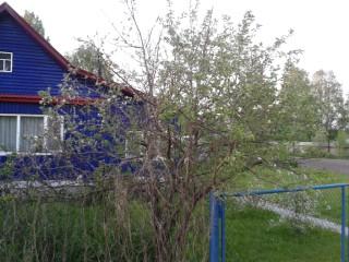 1. 06.06.13. Яблоне 16 лет, цветет последние 7 лет. В этом году высохла, но зацвела.