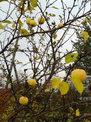 10. 15.10.13. Яблоки пожелтели лишь после того, как с яблони опали листья.