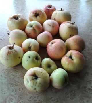 13. 15.10.13. Первый урожай яблок составил 23 шт.