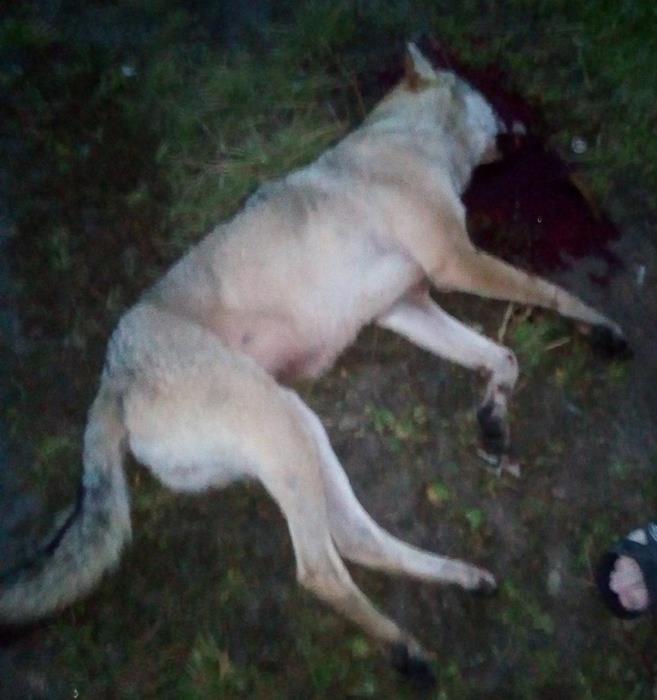 15.08.2019, п.Литвино. В 18:00 этот волк напал на женщину, покусал ногу, но рядом появился охотник