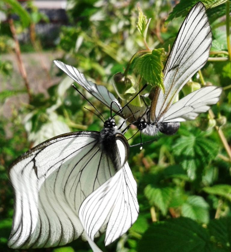 Бабочка Капустница. Свадьба в малиннике. Фото 16.06.2013 г. Урдома.