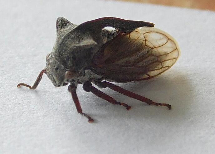 Неизвестное насекомое. Обнаружено 17.07.13 г. в Урдоме на картофельном кусту. Размером около 8 мм, панцирь на голове имеет два рога и такой же хитиновый гребень на спине. Тело под крыльями похоже на комара. При осмотре не кусалось, скакало как блоха примерно на 10 см вверх, крылья не использовало, не летало.
