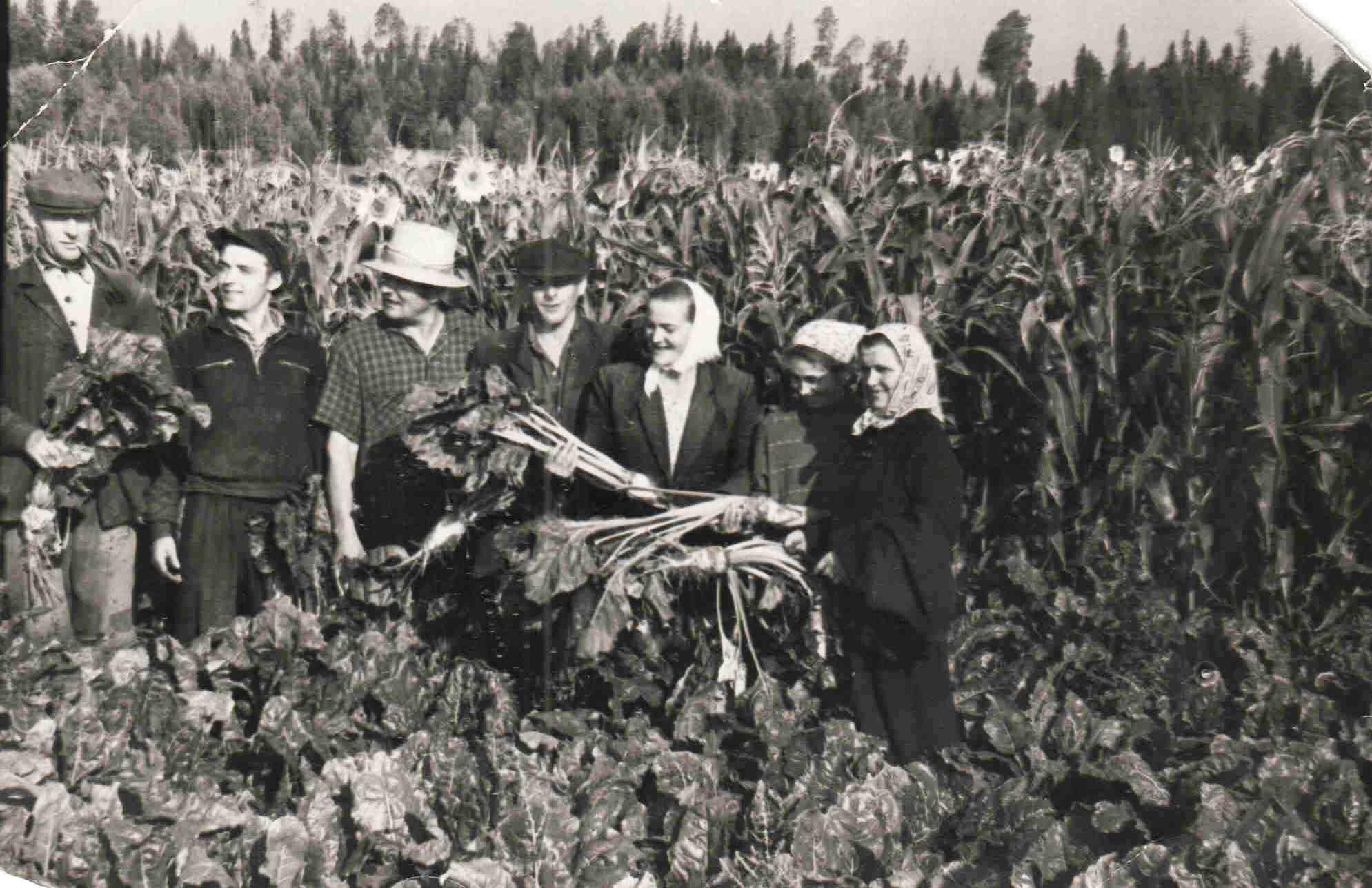 1963. осень. п. Вандыш. Сбор турнепса, свеклы.