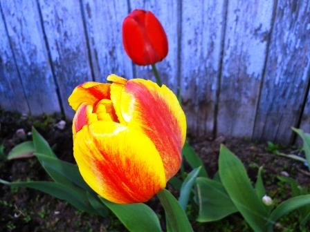 20.05.2015. Урдома. Тюльпаны перезимовали у стены дома.