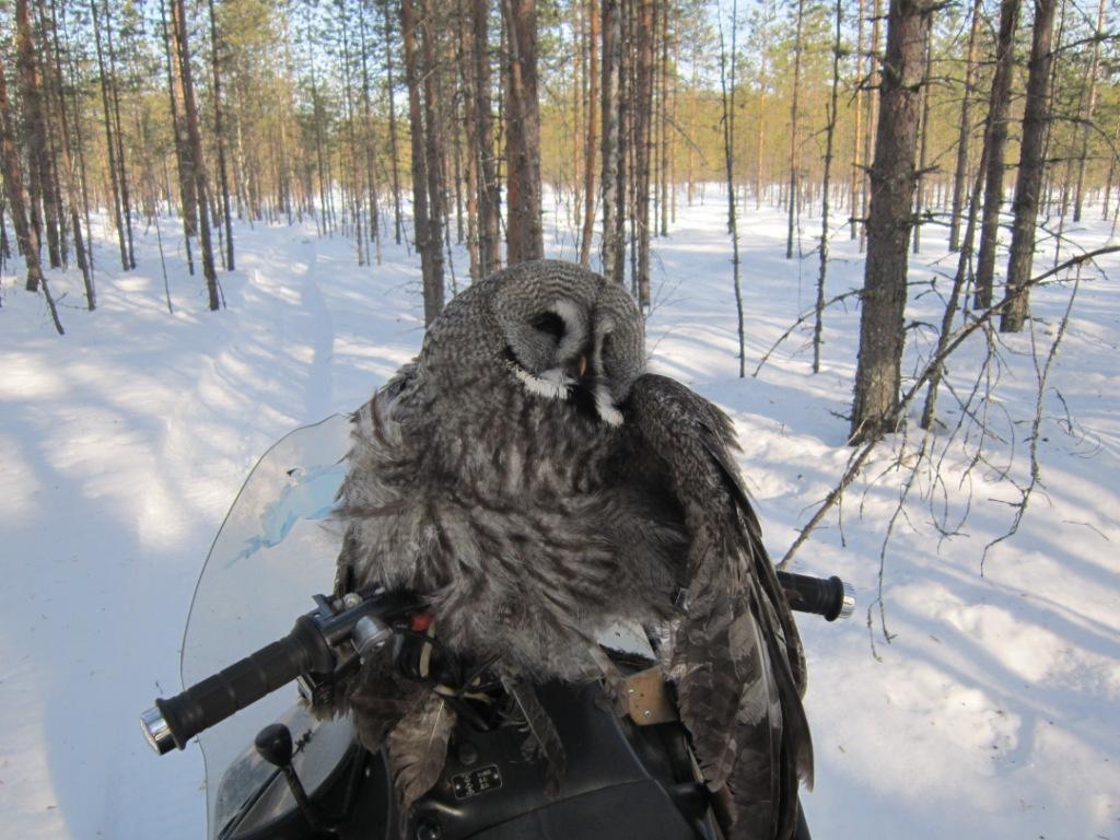 2014, 02 марта, сова, попавшая в капкан.