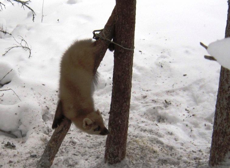 2014, 15 февраля, Вандыш, куница, пойманная в капкан под привадой, выжила.