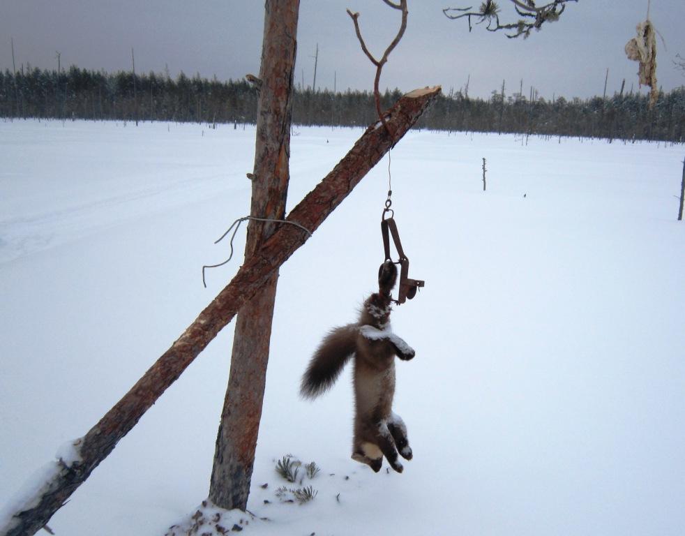 2014, 15 февраля, Вандыш, куница, пойманная в капкан под привадой.