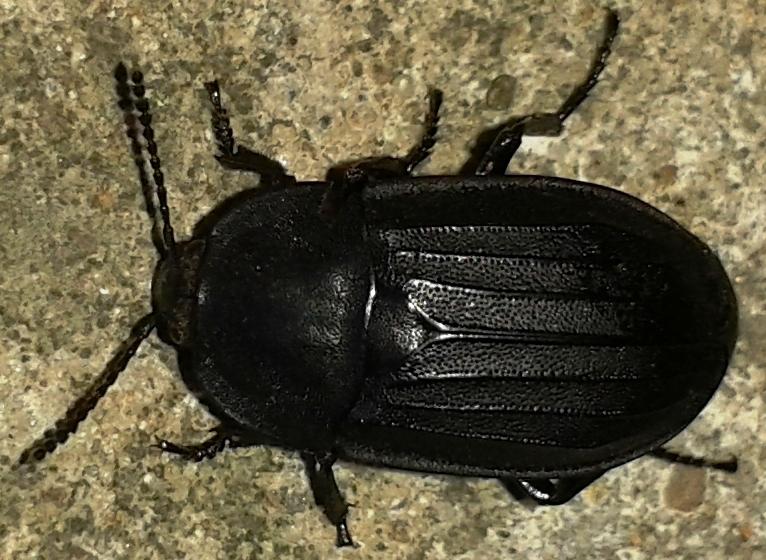Неизвестный жук, длина 17 мм. Фото 26.06.2013 г., Урдома