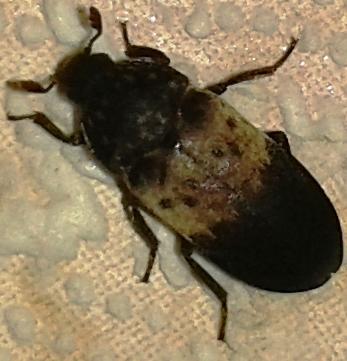 28.08.2015. Неизвестный жук. Урдома.
