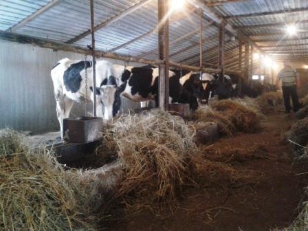 29.03.2014, (42) мои коровы