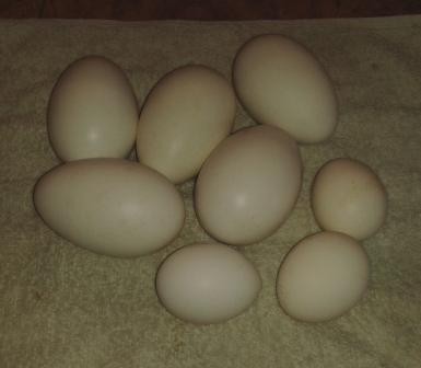 29.03.2014, (50) будут курочки и гуси - будут яйца