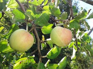 3. 19.08.13. Яблоки с красным боком, но еще кислые.