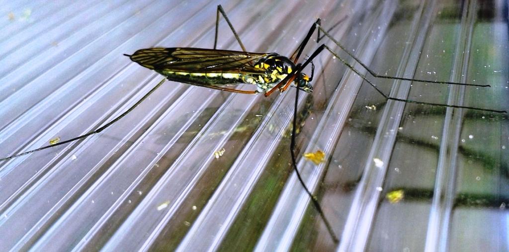 Малярийный комар, 31.05.14