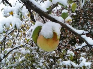 6. 02.10.13. После заморозков яблоки стали слаще.