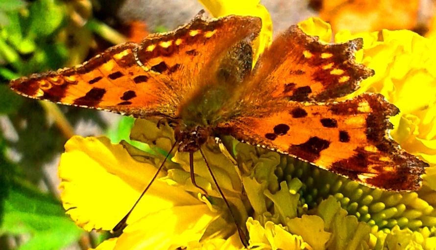 Бабочка крапивница. 12.09.2015. Урдома.