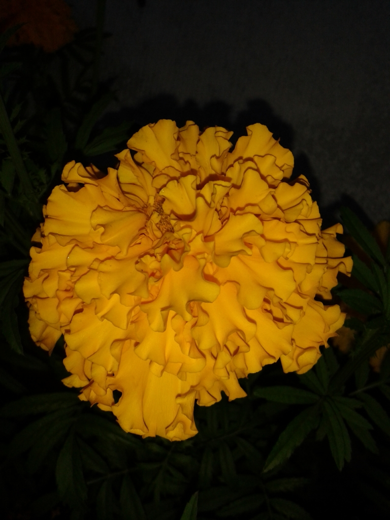 Бархацы желтые. 21.08.13.