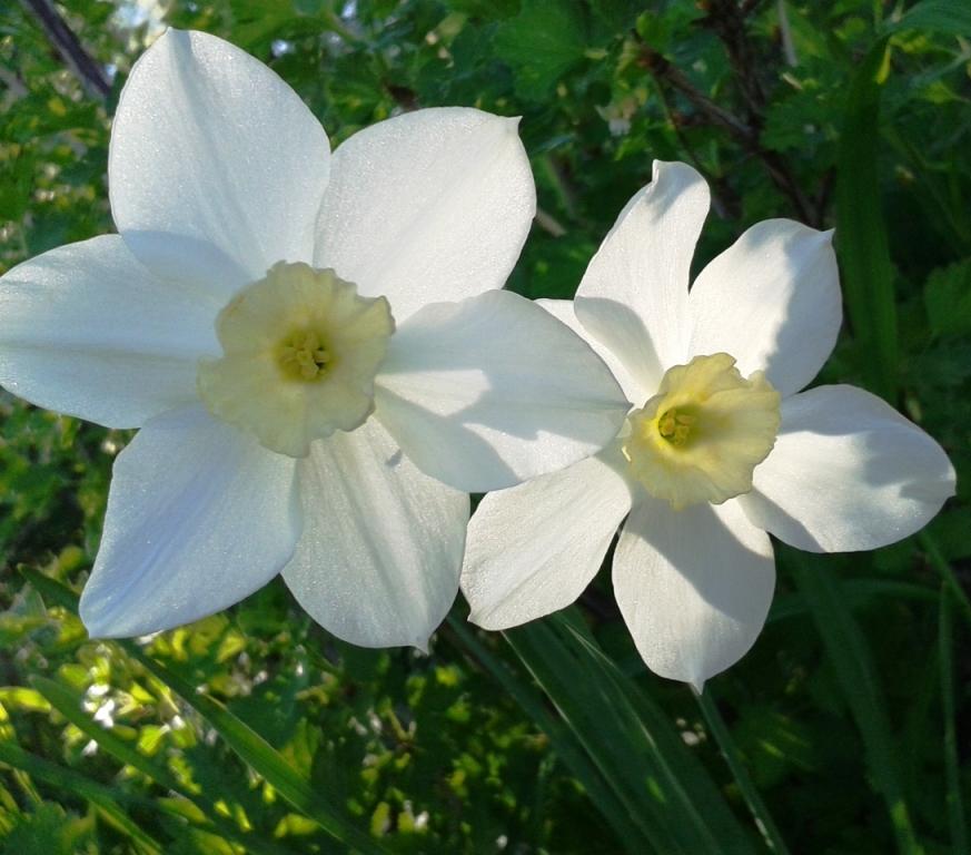 Нарциссы белые. 31.05.13.
