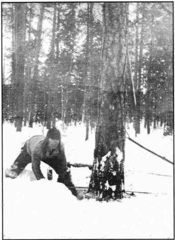 Вальщик в лесу на заготовке древесины, 1930-е годы.