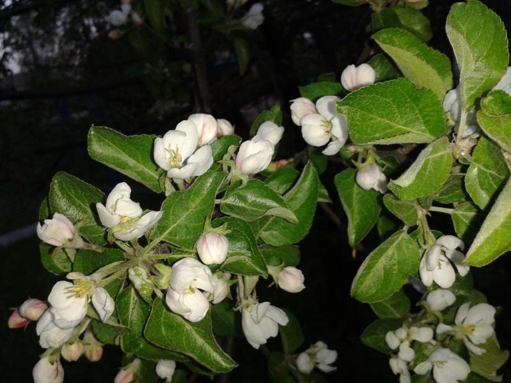 Яблони цвет (1). 06.06.13.