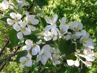 Яблони цвет (2). 08.06.13.