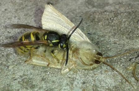 К осени оса все чаще проявляет повадки хищника. Фото 12.09.2013 г. Урдома.